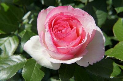 【バラ苗】 ピエールドゥロンサール 造園向け大苗 長尺 ピンク バラ 苗 つるバラ ツルバラ つる...