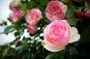 【バラ苗】 ピエールドゥロンサール 初心者向けベストローズ 大苗 ピンク バラ 苗 つるバラ ツ...
