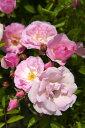 【バラ苗】 ピンクサマースノー 春かすみ とげが少なく花つき抜群 大苗 ピンク 強健 バラ 苗 つ...