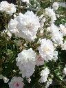 【バラ苗】 ポールズヒマラヤンムスク 初心者に超おすすめ 耐陰性 ピンク バラ 苗 つるバラ ツ...