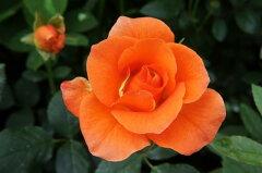 プリンセスミチコ やさしいオレンジ色 耐寒性強 四季咲き オレンジ色 強健 バラ 苗 薔薇【バラ...