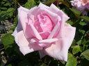 【バラ苗】 ラフランス 国産苗 大苗 6号ポット 四季咲き ピンク 強健 バラ 苗 薔薇 np