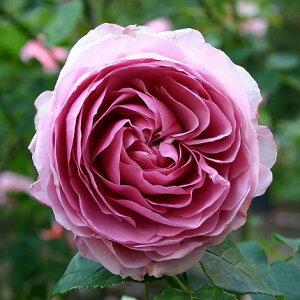 【バラ苗】 ライラックローズ (ER) イングリッシュローズ 四季咲き性は強いです。 大苗 紫色 バ...