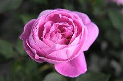 【バラ苗】 ラレーヌヴィクトリア オールドローズ ヴィクトリア女王にちなんで 新苗 ピンク 強...