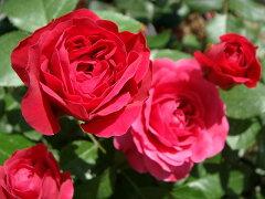 【バラ苗】 レッドレオナルドダビンチ 病気に強い情熱の色。 大苗 四季咲き 赤色 強健 バラ 苗 ...