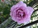 【バラ苗】 レイニーブルー 国産苗 大苗 6号ポット 四季咲き 青紫色 バラ 苗…