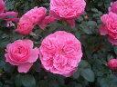 【バラ苗】 レオナルドダビンチ 大苗つるバラ ピンク バラ 苗 つるばら 薔薇 …