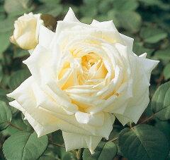 【バラ苗】 ロイヤルプリンセス 気品にあふれます。 大苗 四季咲き 白色 強香 強健 バラ 苗 薔...