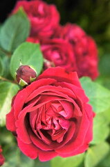 【バラ苗】 ルージュピエールドゥロンサール 赤の大輪四季咲きツルバラ 大苗 四季咲き 赤色 強...
