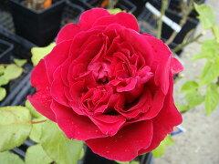 【バラ苗】 ルージュロワイヤル 存在感の強い大変豪華な花。 大苗 四季咲き 赤色 強香 バラ 苗 ...
