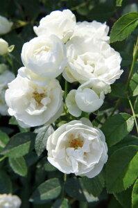 【バラ苗】 シュネープリンセス ミニバラ カップ咲きの小花が咲き乱れます 新苗 四季咲き 白色 ...