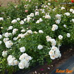 【バラ苗】 シリウス つる性 【京成バラ】返り咲き 丸弁平咲 ピンク花 薔薇