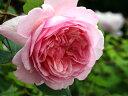 バラ苗 バラ苗 ギヨー guillot 四季咲き ギヨー パリの有名デザイナーに捧げられたバラ 強香 薔...
