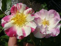 【バラ苗】 ソルベフランボワーズ デルバール (Del) 花つきが良く四季咲き性も強いです 大苗 四...