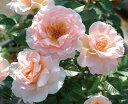 【バラ苗】 スプリングコサージュ 絶えず咲きこぼれる花。 大苗 四季咲き ピンク バラ 苗 薔薇...