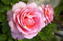 【バラ苗】 ティファニー 生育旺盛で育てやすいです。 大苗 四季咲き ピンク 強香 強健 バラ 苗...