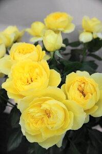 【バラ苗】 トゥールーズロートレック 香りも豊かな。 大苗 四季咲き 黄色 強香 バラ 苗 薔薇【...