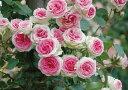【バラ苗】 つるミミエデン 愛らしい花色の人気品種 ピンク バラ 苗 薔薇 フェンス アーチ【バ...