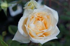 【バラ苗】 つるレディヒリンドン 香りがすばらしいつるバラ 大苗 アプリコットイエロー 強香 ...