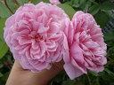 【バラ苗】 ウィズリー イングリッシュローズ 葉は小ぶりで耐病性があります。 大苗 四季咲き ...
