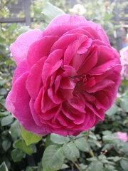 【バラ苗】 ヤングリシダス (ER) イングリッシュローズ 非常に丈夫なバラ 大苗 四季咲き 青紫色...