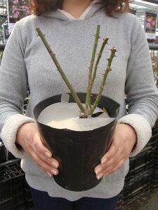 【バラ苗】 マダムアルディー オールドローズ ロマンチックで温かい名花です 大苗 強香 強健 バ...