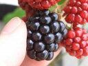 通常果実の1.5倍サイズの大実品種 ブラックベリー 苗 果樹苗トゲなし ブラックベリー ジャンボ...
