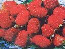 """豊産性期待の品種です。 果樹苗木 タイベリー""""メジーナ""""5号ポット苗"""
