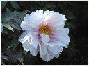 白系の新品種牡丹(白系)薄化粧(ウスゲショウ)2年生苗