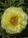 花びらの斑紋が特徴のアメリカ種ボタン。牡丹(黄色)ハイヌーン2年生苗