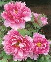 【牡丹】 (ピンク色) 百花殿(ヒャッカデン) 2年生苗 落葉樹 低木 ぼたん
