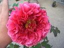 【牡丹】 (赤紫色) 花王(カオウ) 咲き終わりには花弁の色が落ちる雅なボタン。 ぼたん 低木...