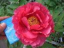 【牡丹】 (紅桃色) 日月錦 (ジツゲツニシキ) 花びらにうっすらと浮かぶ覆輪 ぼたん 低木【...
