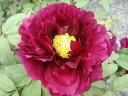 大人びた表情の紫花牡丹(紫色)麟鳳(リンポウ)2年生苗