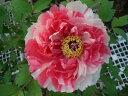 【牡丹】 (絞り系) 島錦(シマニシキ) 紅白が楽しい絞り咲き! ぼたん 低木【牡丹】 (絞り...