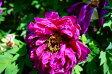 【牡丹】 (赤紫色) 島大臣(シマダイジン) 2年生苗 落葉樹 低木 ぼたん