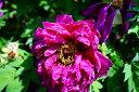 【牡丹】 (赤紫色) 島大臣(シマダイジン) 魅力的な深みのある大輪花 ぼたん 低木【牡丹】 ...