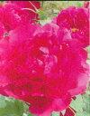 明るい花色牡丹(赤系)島輝(シマノカガヤキ)2年生苗