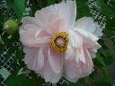 透明感のある明るい桃色ボタン牡丹(ピンク色)八千代椿(ヤチヨツバキ)2年生苗