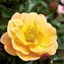 【バラ苗】 フラワーカーペットローズ アンバー 修景バラ 四季咲き バラ 苗 バラ苗木 グランドカバー