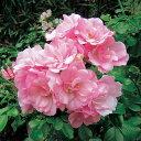 【バラ苗】 フラワーカーペットローズ アップルブロッサム 修景バラ 四季咲き ピンク バラ 苗 バラ苗木 グランドカバー