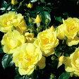 【バラ苗】 フラワーカーペットローズ ゴールド 修景バラ 四季咲き 黄色 バラ 苗 バラ苗木 グランドカバー 【予約販売】【2017年10月上旬頃お届け予定】