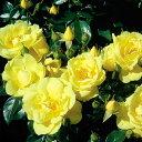 【バラ苗】 フラワーカーペットローズ ゴールド 修景バラ 四季咲き 黄色 バラ 苗 バラ苗木 グランドカバー
