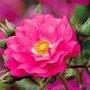 【バラ苗】 フラワーカーペットローズ ピンク修景バラ 四季咲き バラ 苗 バラ苗木 グランドカバー