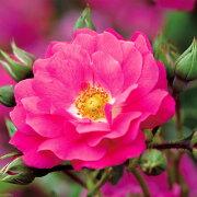 フラワーカーペットローズ 四季咲き グランド