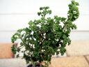 ハーブの苗 ゼラニウム 宿根草 苗 多年草 耐寒性 イングリッシュガーデンにも最適!ハーブの苗 ...