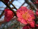 人気No1の赤いウメ鹿児島紅梅(カゴシマコウバイ)1年生 接ぎ木 苗 庭木 落葉樹 シンボルツリー