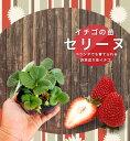 いちご 苗 【四季成り性】セリーヌ 3号ポット苗 イチゴ 苺
