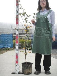バレリーナはジューンベリーの大実品種!入荷少ない! 果樹苗ジューンベリー 大実 バレリーナ 3...