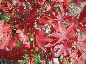 イロハモミジ★紅葉の美しい品種です★イロハモミジ 根巻き苗 庭木 落葉樹 シンボルツリー もみ...
